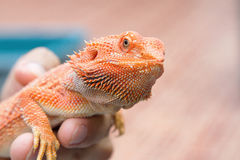 Bearded Dragon on hand Stock Images