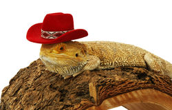 Bearded dragon with hat. Isolated on white Stock Photos