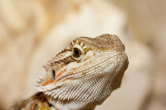 Bearded dragon head Stock Photos