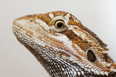 Bearded dragon head Stock Image