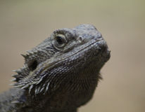 Bearded dragon head Stock Images