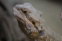 Bearded dragon head Royalty Free Stock Photos
