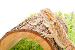 Bearded Dragon on her Log Royalty Free Stock Images