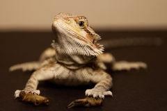 Bearded dragon that holds the food in his paws. Royalty Free Stock Photo