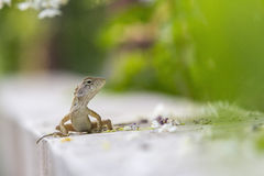 A Bearded Dragon Stock Images