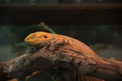 Bearded dragon, Inland bearded dragon Royalty Free Stock Photo