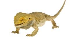 Bearded dragon isolated Stock Photo