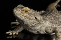 Bearded dragon - isolated on black Royalty Free Stock Photography