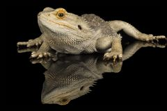Bearded dragon - isolated on black Stock Photos