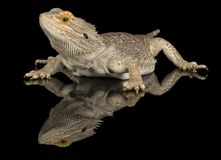 Bearded dragon - isolated on black Royalty Free Stock Images