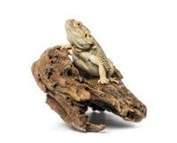 Bearded Dragon, isolated Royalty Free Stock Image