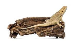 Bearded Dragon, isolated Royalty Free Stock Images