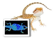 Reptile with ct scan. Bearded dragon with its ct scan in a tablet. White studio background. Exotic veterinarian diagnostic tomography scan test on a reptile royalty free stock photography