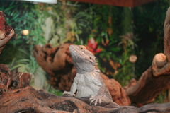 Bearded Dragon Lizard. Very Cute Bearded Dragon Lizard, Reptile, Pet, Docile. He is posing for us Royalty Free Stock Image