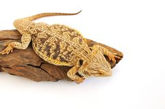 Bearded Dragon Lizard Royalty Free Stock Images