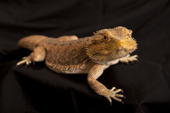 Bearded dragon lizard 2 Stock Images