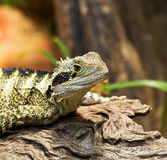 Bearded Dragon Lizard Stock Photo