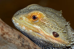 Bearded Dragon Lizard Stock Images