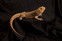 Bearded dragon lizard 3 Stock Images