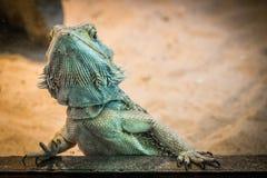 Bearded Dragon Lizard Royalty Free Stock Photo