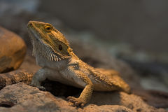 Bearded Dragon Lizard Royalty Free Stock Photo