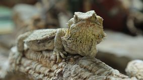 Bearded dragon lizard. The bearded dragon lizard for the scales under the neck that swell and darken when it`s angry, is a reptile living in Australia in the stock footage