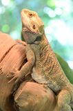 Bearded Dragon Lizard Royalty Free Stock Photography