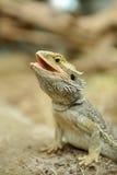 Bearded Dragon Lizard Royalty Free Stock Photography