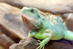 Bearded Dragon lizard Royalty Free Stock Image