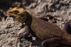 Bearded Dragon Lizard. In the himalayas Stock Photos