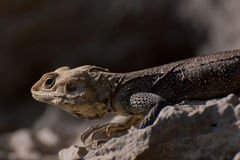 Bearded Dragon Lizard Royalty Free Stock Photos