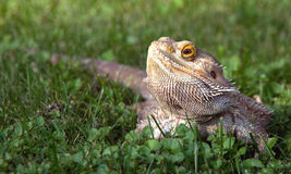 Bearded Dragon. A bearded Dragon lizard laying in the grass Stock Photo