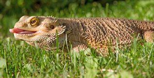 Bearded Dragon. A bearded Dragon lizard laying in the grass sticking his tongue out royalty free stock photos
