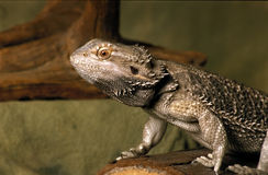 Bearded dragon lizard Royalty Free Stock Image