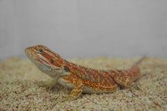 Bearded Dragon Lizard. (Pogona) against natural Stock Images