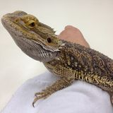 Bearded dragon lizard resting on arm pet stock photography