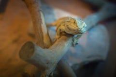 Bearded Dragon lizard Stock Image