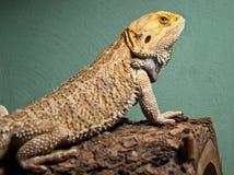 Bearded dragon on log. With green stucko background Stock Photos