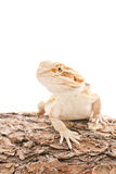 Bearded Dragon On Log Stock Image