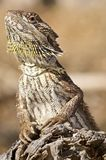 Bearded dragon on log Stock Images