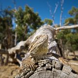 Bearded dragon on log. Bearded Dragon in natural environment on log Stock Images
