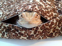 Bearded Dragon Looking Out From Bag Royalty Free Stock Photography