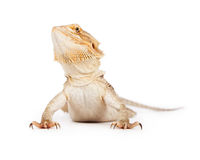 Bearded Dragon Looking Up Royalty Free Stock Image