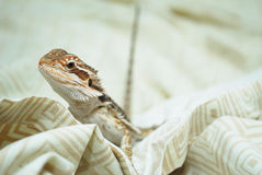Bearded Dragon Looking at You. Stock Image