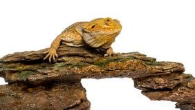Bearded Dragon lying on a rock Stock Photography