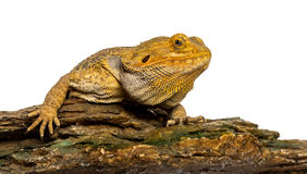 Bearded Dragon lying on a rock Stock Image