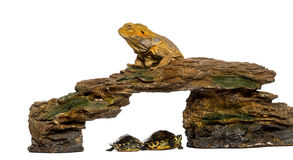Bearded Dragon lying on a rock with two turtles underneath. In front of a white background stock photos