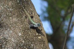Bearded dragon. Moving fast down the tree to catch a insect Royalty Free Stock Image