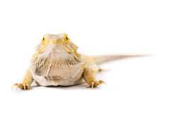 Bearded Dragon Pet. Close up picture of a bearded Dragon stock image