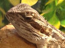Bearded Dragon. This is a picture taken of a Bearded Dragon Stock Photos
